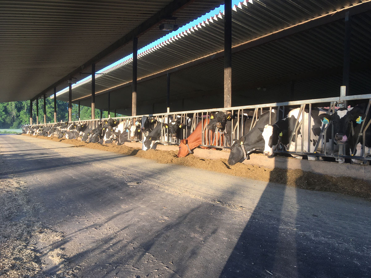 Unsere Kühe in der Abendsonne