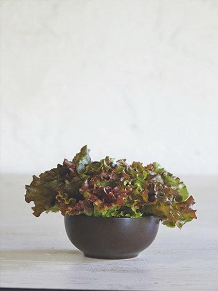 Red Leaf Lettuce (ผักกาดหอมใบแดง)