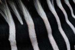 Fine Art Zebra Texture CU