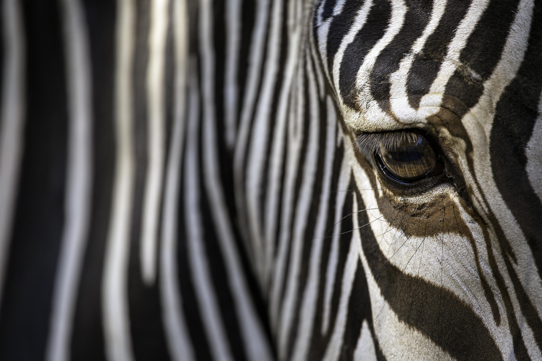Fine Art Zebra - CU Left Eye (Color)