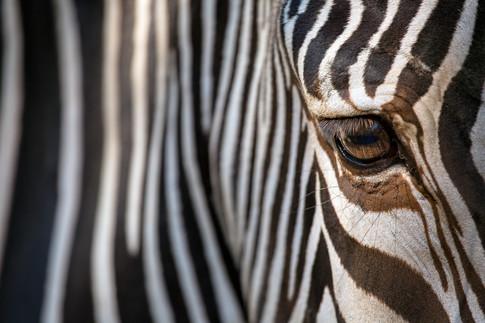 Fine Art Zebra - CU Left Eye (Color).jpg
