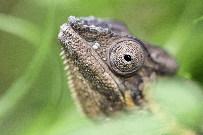 Zurich Chameleon #1