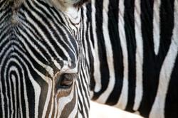 Fine Art Zebra - Eye _Color_