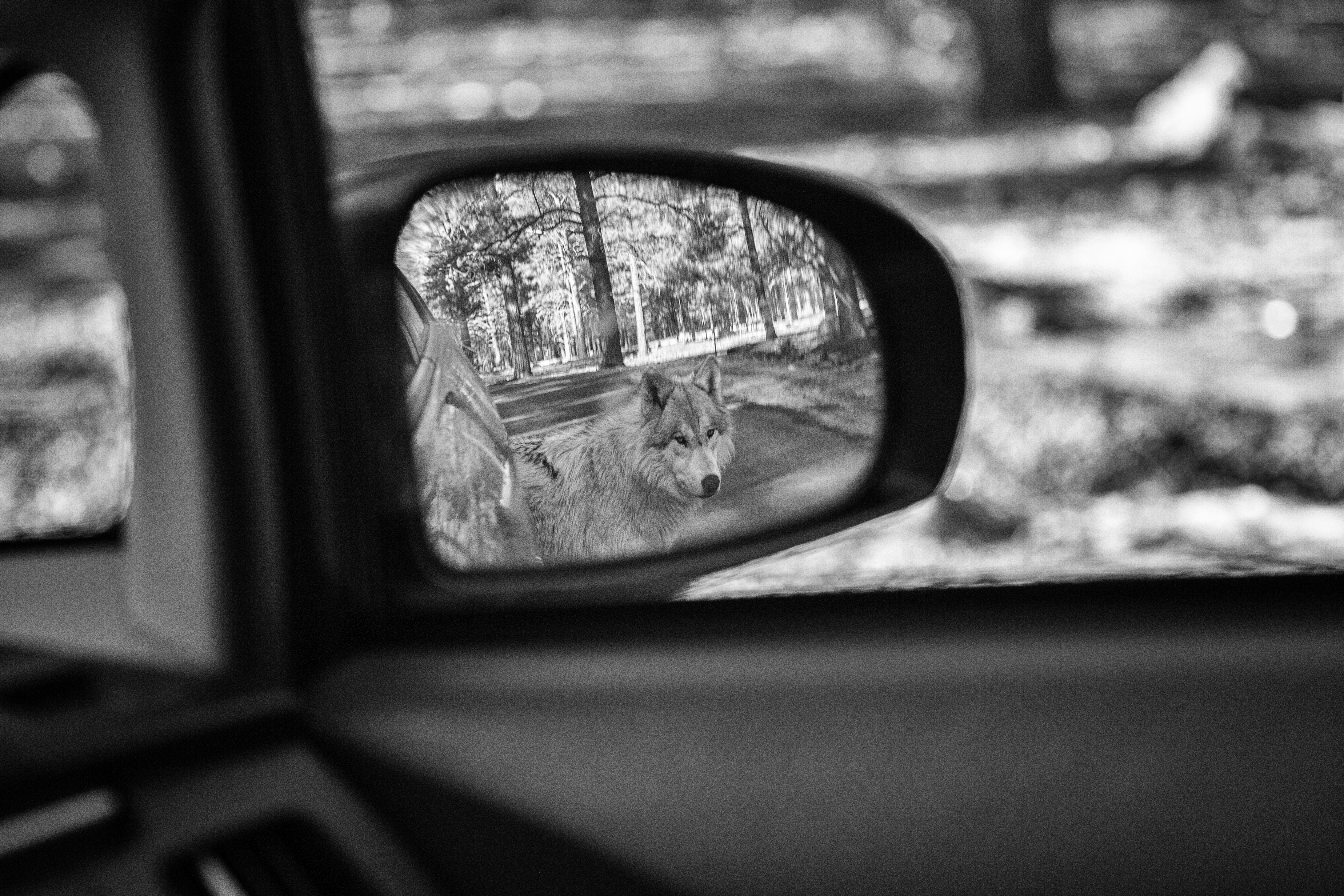Wolf in Mirror