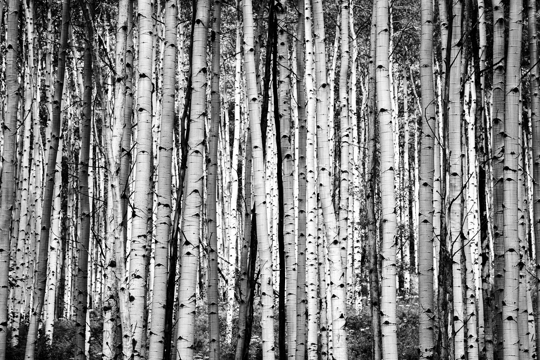 Aspen Trees (B&W)