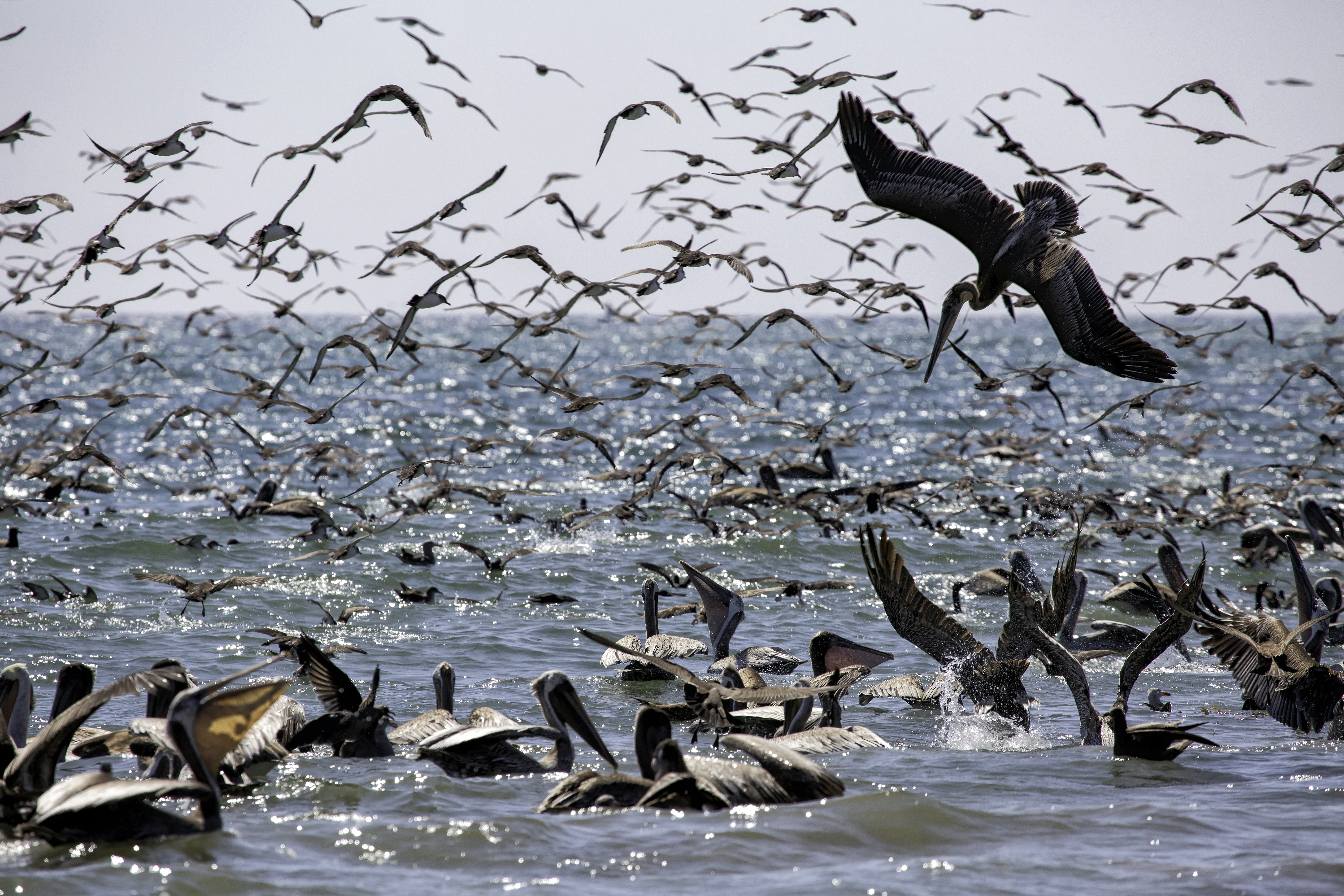 Pelican Feeding Frenzy