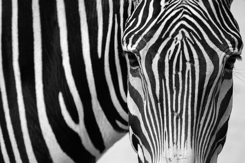 Zebra Portrait 2.0
