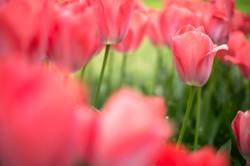 Hiroshima Tulips