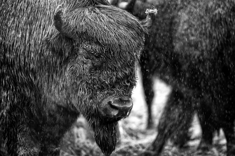 Alaskan Bison (B&W)
