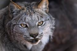 Lynx (Smooth)