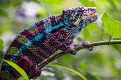 Chameleon Profile