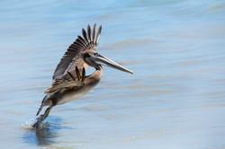 Pelican Takeoff