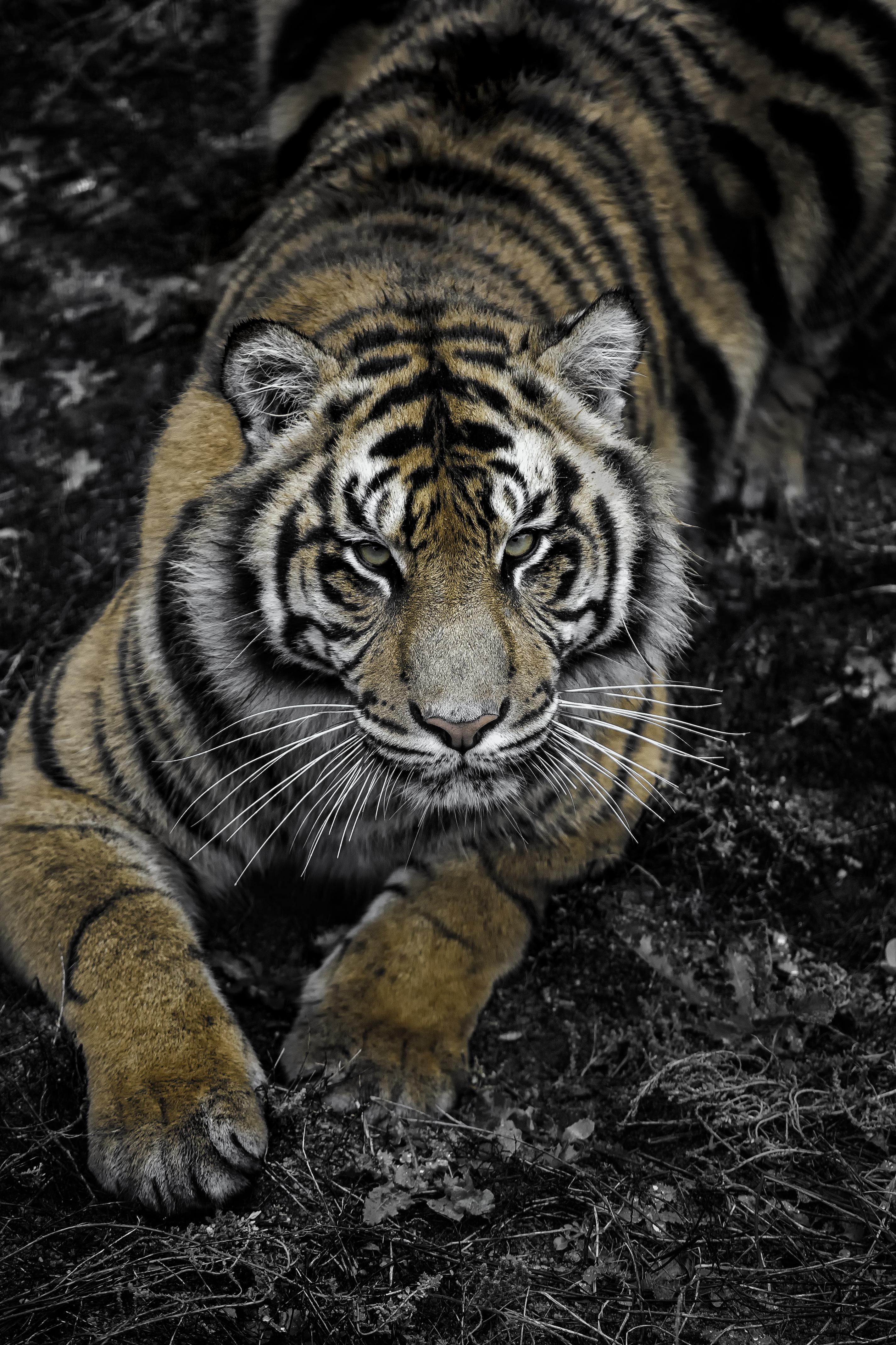 Vertical SD Tiger Stare(B&W)