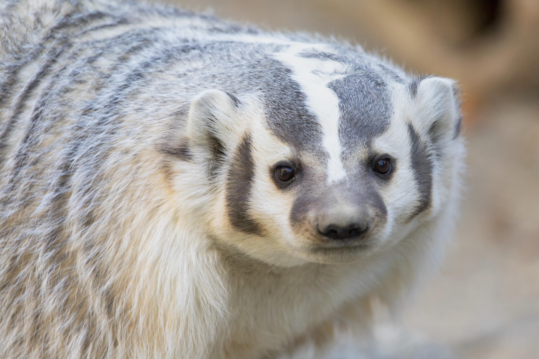 Living Desert Badger