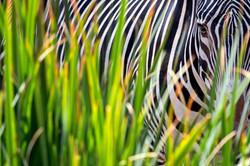 Zebra Behind Grass #3