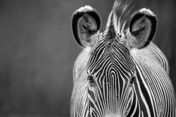 Fine Art Zebra - Head On