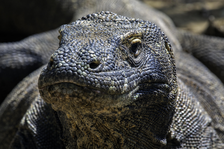 Komodo Dragon CU