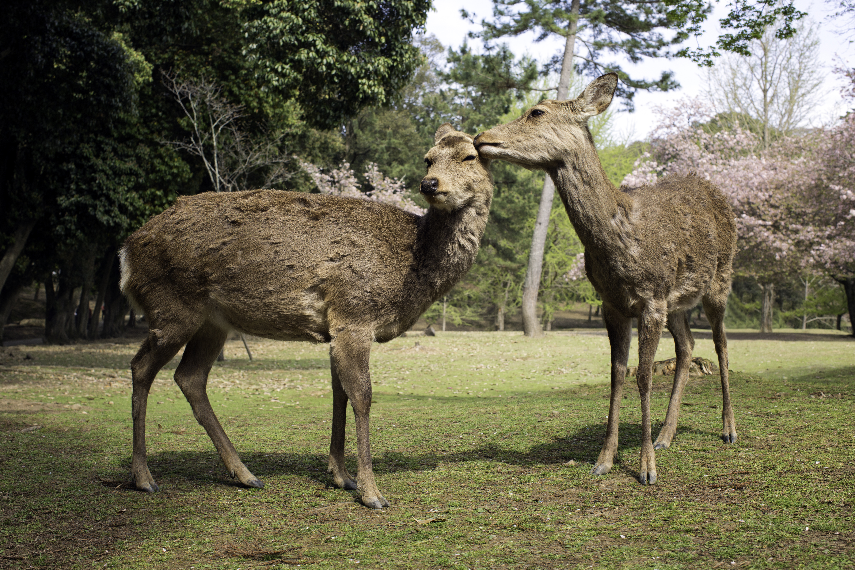 Nara Deer Love 2
