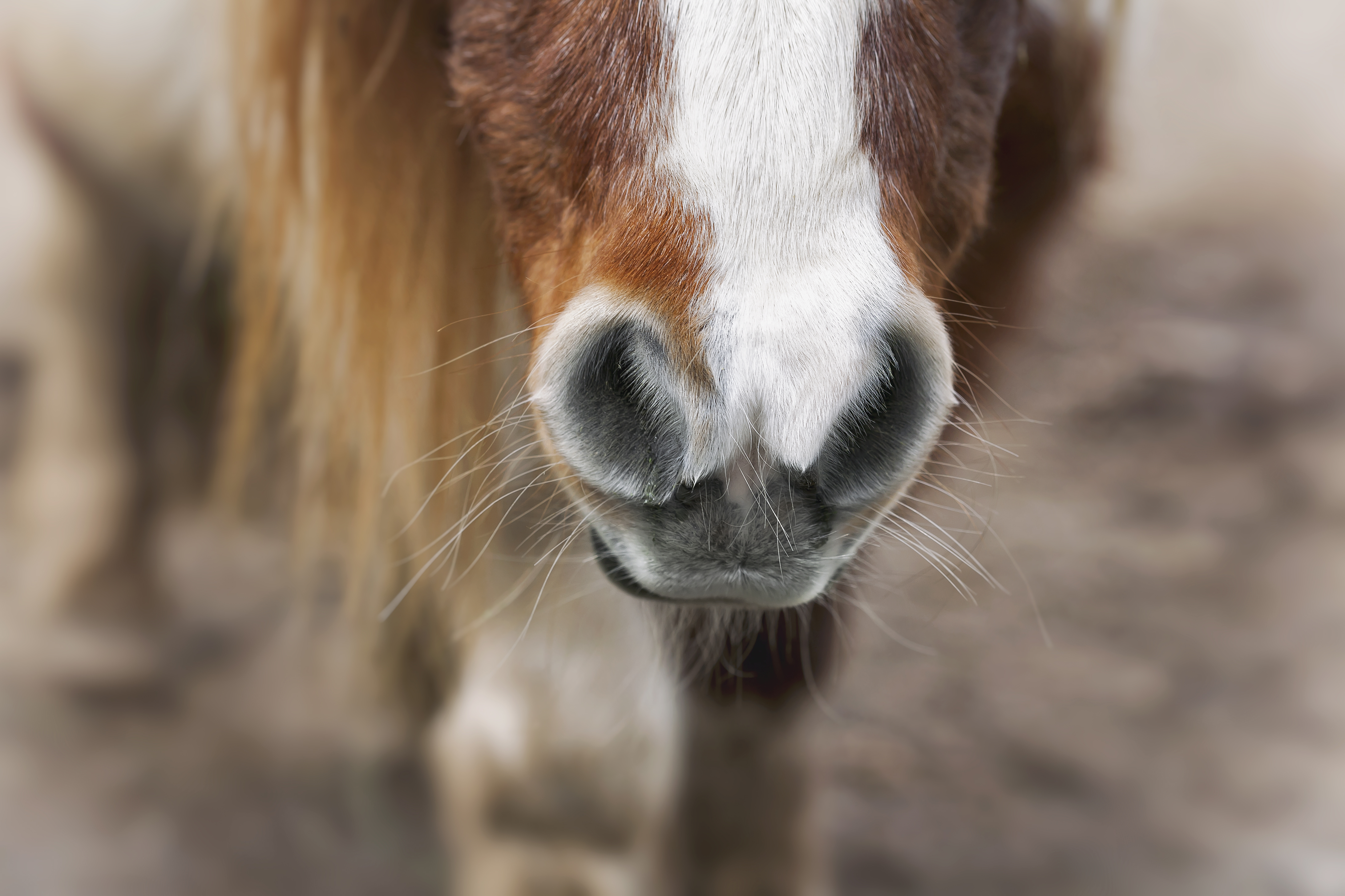 Horse Snout (Smooth)