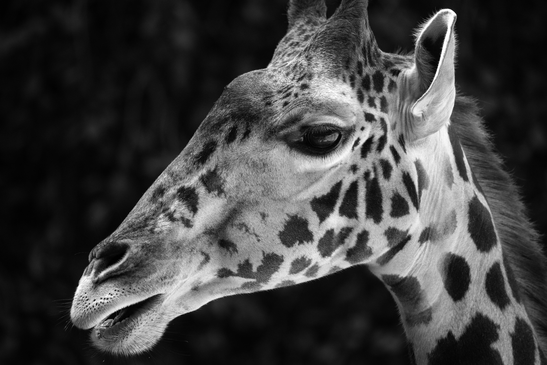 Young Giraffe #3