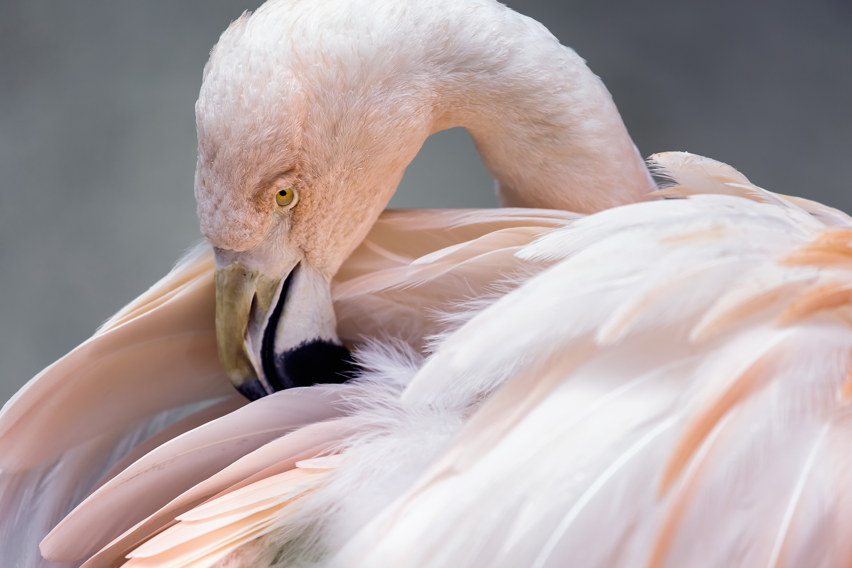 Fine Art Flamingo Portrait