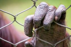 Great Ape Fingers