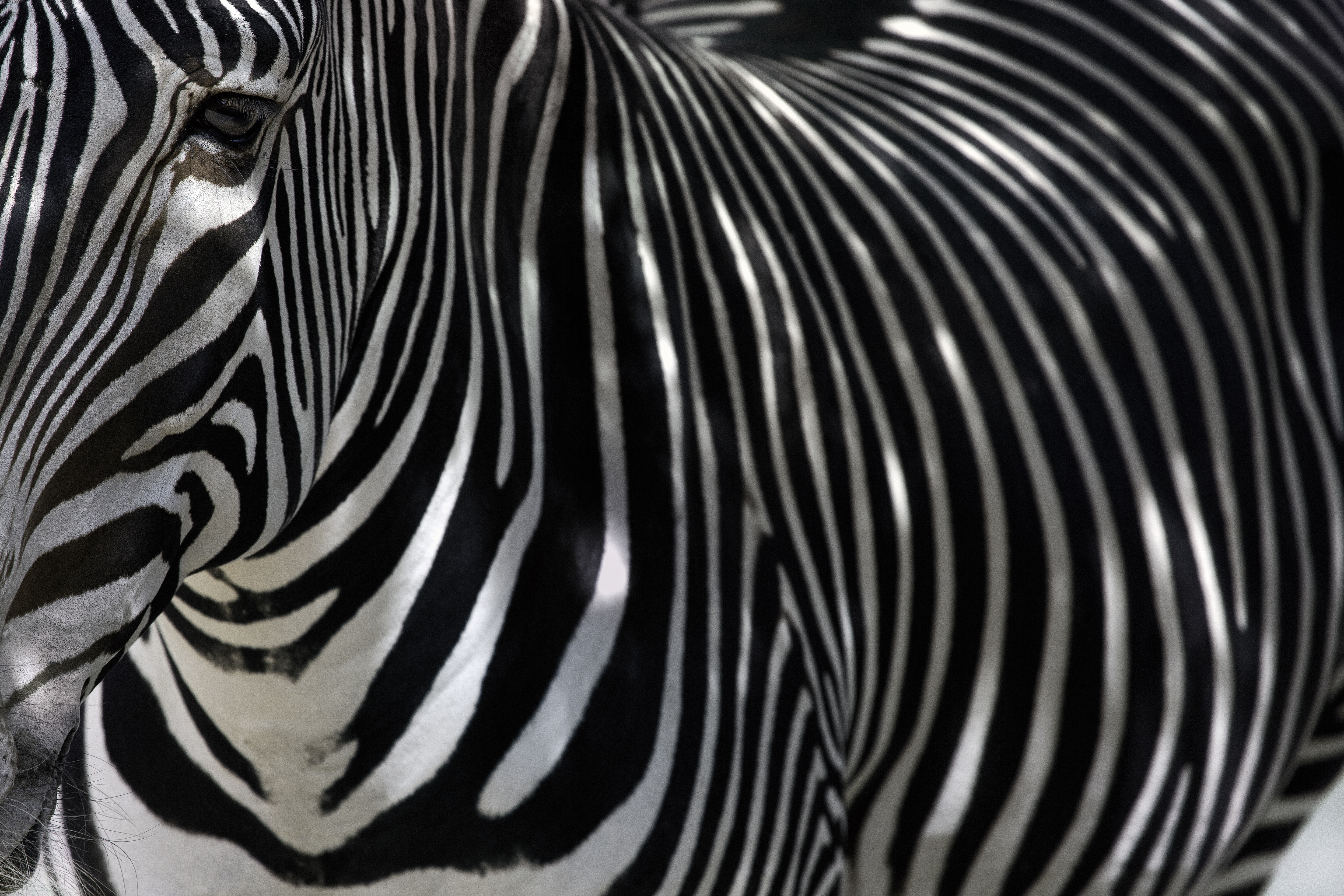 Fine Art Zebra - Left Side (Color)