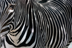Fine Art Zebra - Left Side (Color)