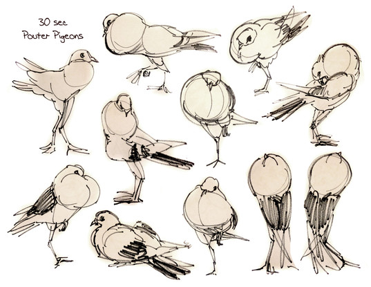 Fancy Pigeon Gestures
