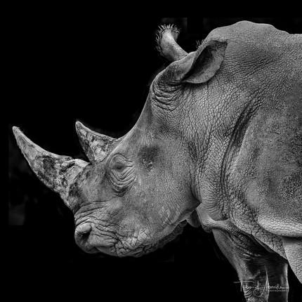 Rhinos #3