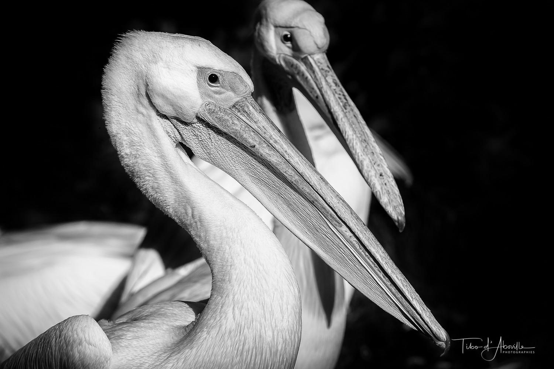 Pelican #2