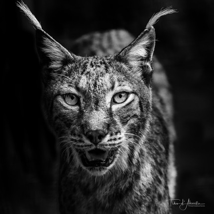 Lynx Optique #3