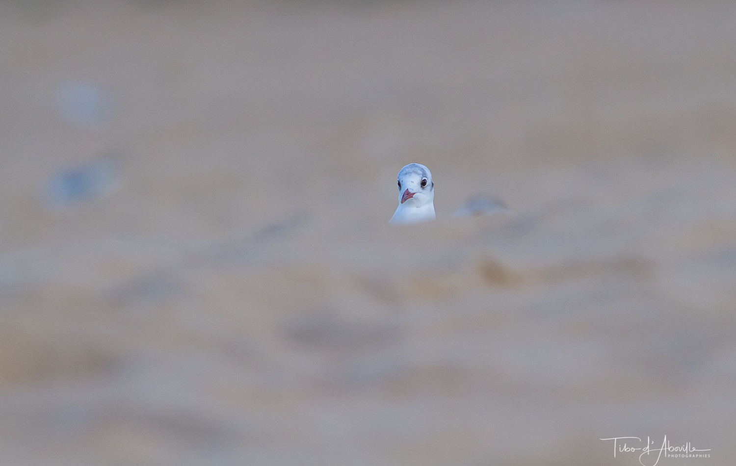 Mouette Rieuse #4
