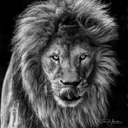 Tongue Lion