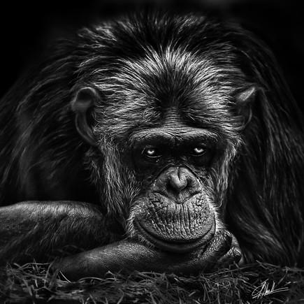 Chimpanzee #1