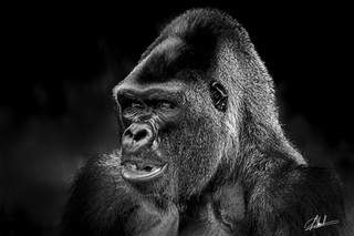 Kong Ombres