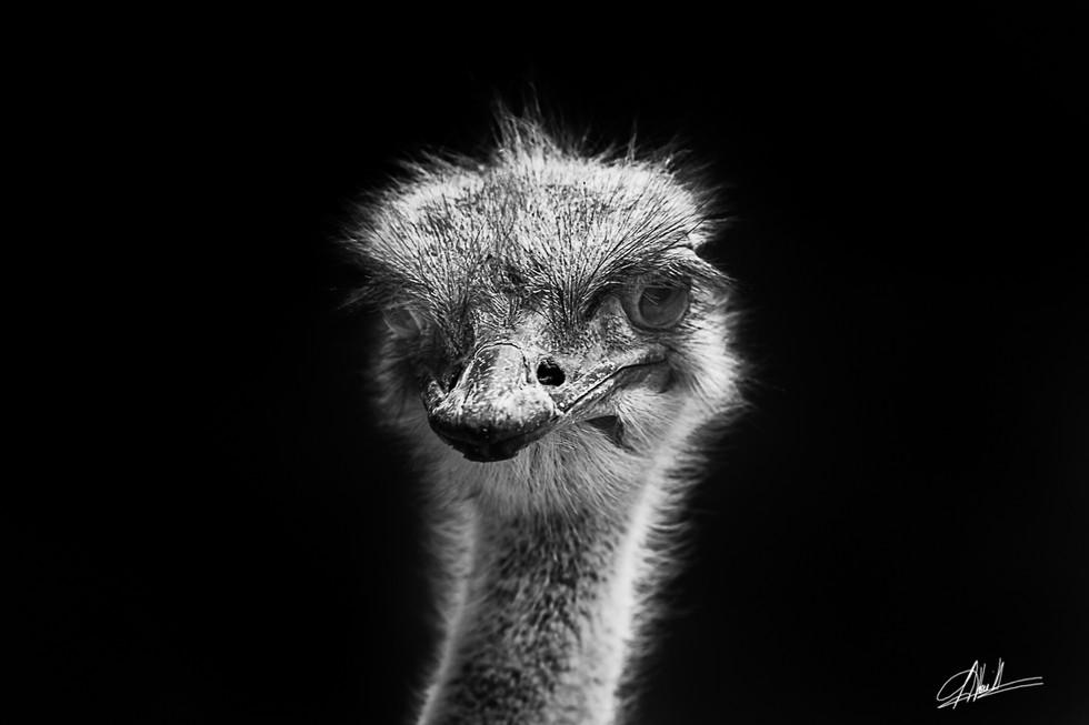 Ostrich #3