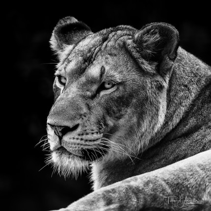 Lioness #3