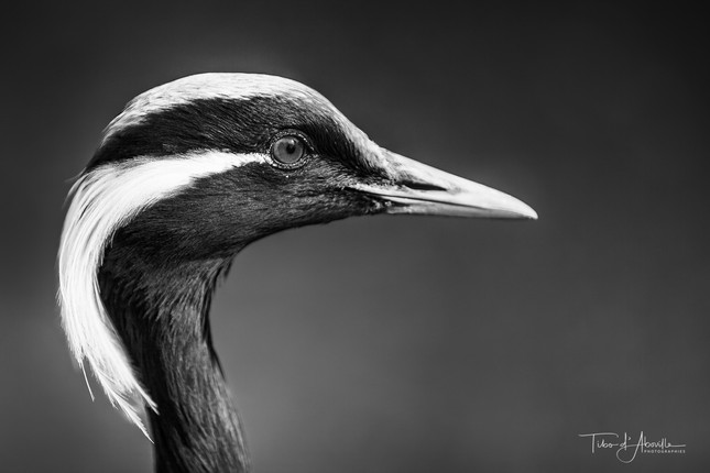 Common Crane #3