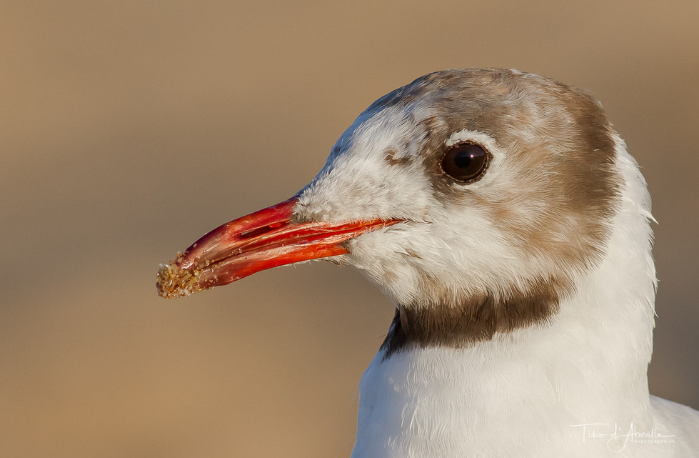 Mouette Rieuse #3