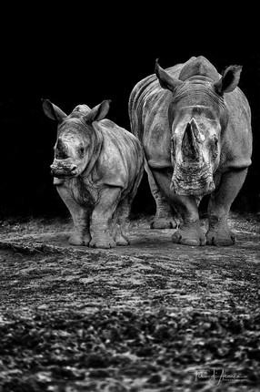 Rhinos #2