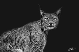 Lynx Optique #4