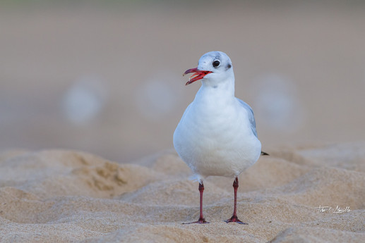 Mouette Rieuse #2