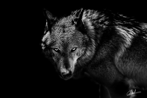 Appât de Loup