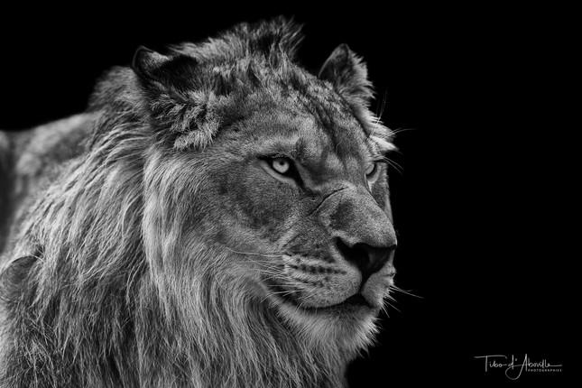 Mi-Lion #2