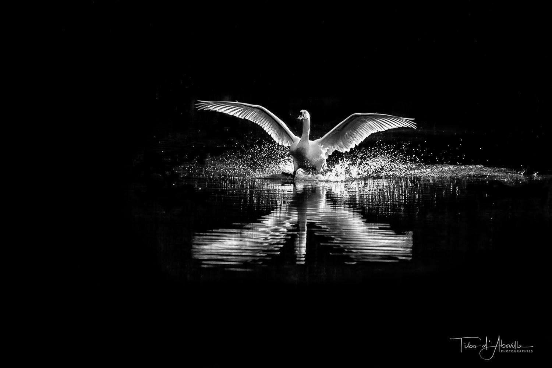 Swan #2