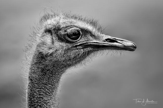 Ostrich #4