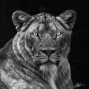 Lioness des Zoos