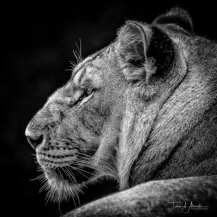 Lioness #1