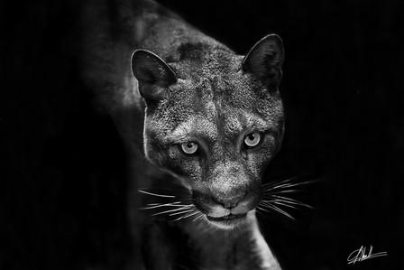 Cougar Debout
